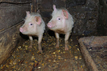 porker: Two pigs in traditional farm
