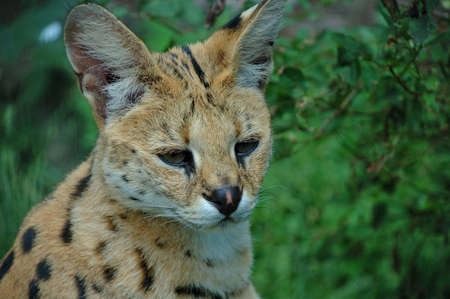 focuses: A serval cat focuses attentively with its eyes and ears. Stock Photo