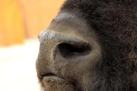 neus: bisons nose
