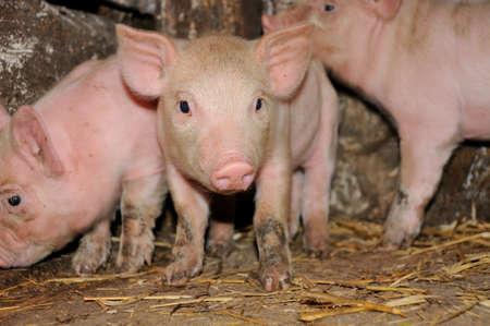pigpen: Pig.