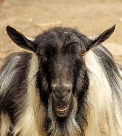goat head: The goat head close-up. Stock Photo