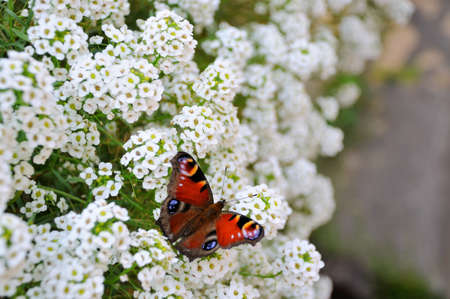 io: European Peacock butterfly (Inachis io) on a flower