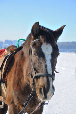 horse in snow: Portrait of nice horse  on a snow Stock Photo