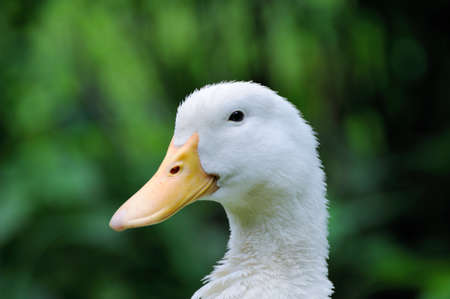 domestic duck: A white duck on the green grass field