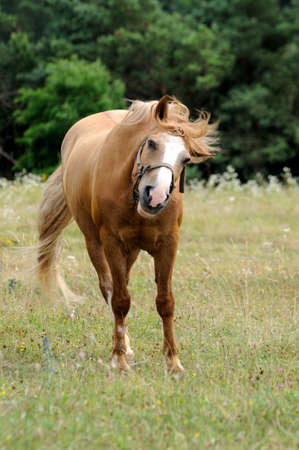 chestnut male: The horse is grazing in the pasture.