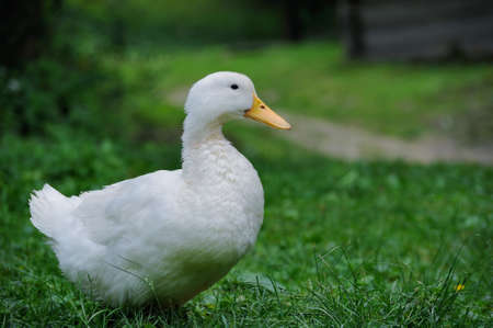 animal farm duck: A white duck on the green grass field