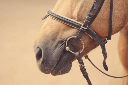 caballo negro: La nariz del caballo o el hocico con cabestro y con freno. Foto de archivo