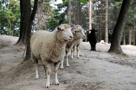 ovejas: Ovejas de cerca sobre un fondo del bosque