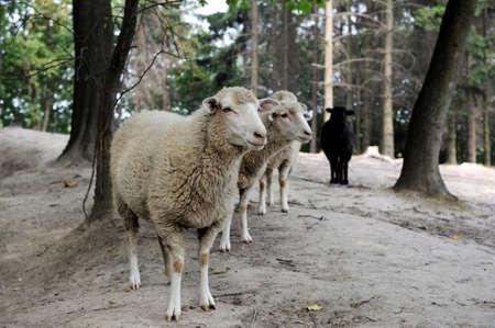 pecora: Pecore vicino su uno sfondo di foresta Archivio Fotografico