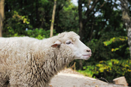 ovine: Sheep close up on a background of the forest