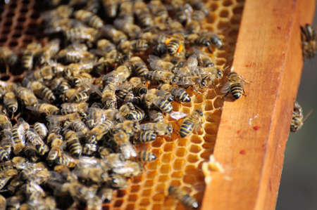 beekeeper inspects a frame of bees