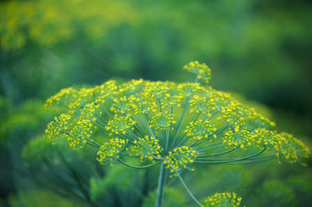 Yellow flowers of dill (Anethum graveolens). Close up. Stock Photo