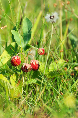 'wild strawberry: Wild strawberry plant with green leafs and ripe red fruit