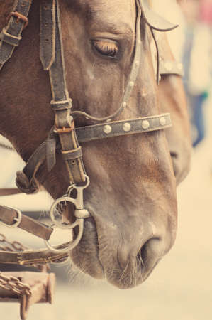 bridle: Horse nose or muzzle with bit and bridle. Stock Photo
