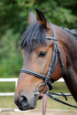 gelding: Horse head portrait in harness close up .