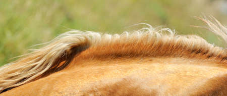 mane: A close up of the neck and mane of a chestnut horse