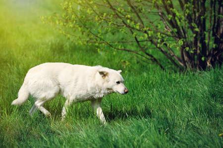 kampfhund: Angry white dog against a background of grass Lizenzfreie Bilder
