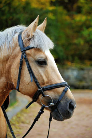 Horse head portrait in harness close up .