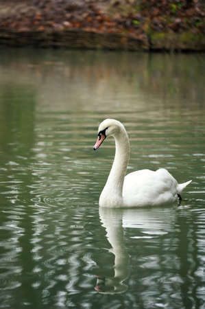 White swan portrait. Swan swimming on a river.