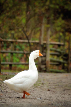 Side view of white goose close up . Stock Photo