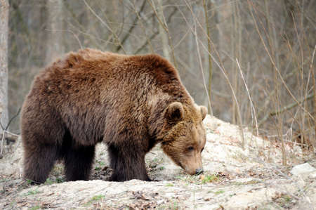 The brown bear (Ursus arctos), big male, walking in the forest