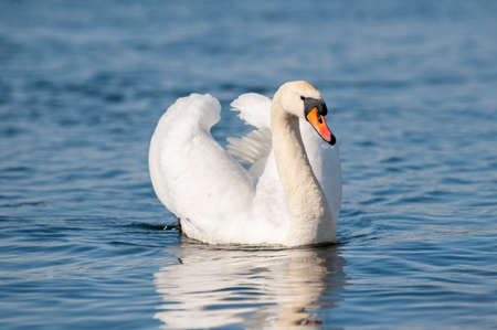 White Swan floats on water surface.White swans (Cygnus olor) swim in blue water.