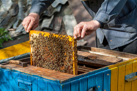 The beekeeper examines bees in honeycombs. In the hands of a honeycomb with honey.