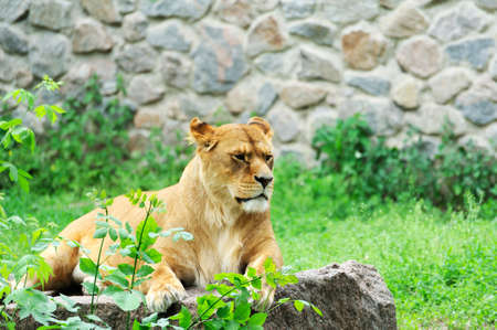 A portrait of a lioness relaxing on grass 写真素材