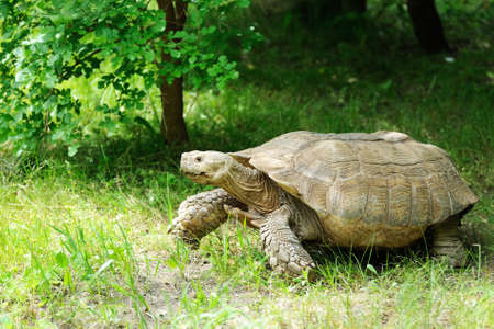 Large tortoise at the zoo. Large turtle, walking on grass, standing