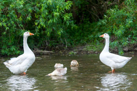 Young geese with mother on the background of nature in the summer