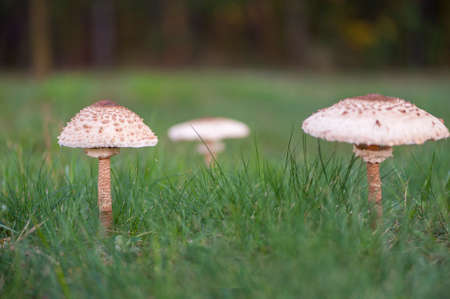 Mushroom umbrella close-up standing in the grass. 写真素材