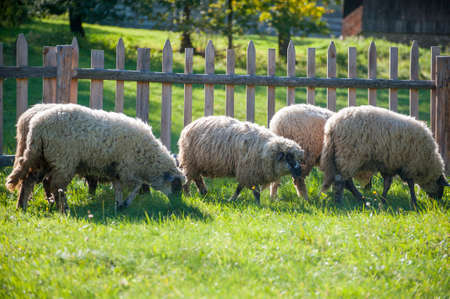 A sheep herd in the summer in a meadow in the countryside 写真素材
