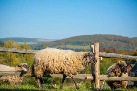 A sheep herd in the summer in a meadow in the countryside Imagens