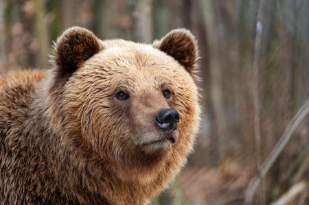 The brown bear (Ursus arctos), big male, walking in the forest Stock fotó