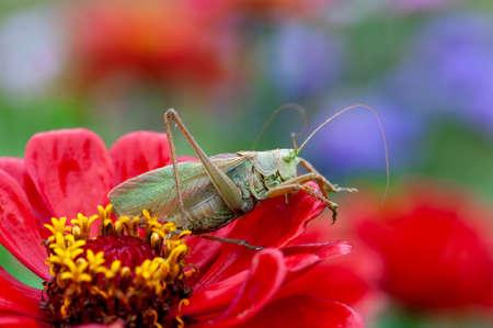 Locust. Grass Hopper. A differential grasshopper hanging out in a summer meadow Standard-Bild