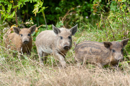 Little wild pig in the forest. Dirty. Wild pig in the summer forest