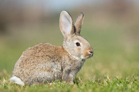 Rabbit hare while looking at you on grass background Standard-Bild