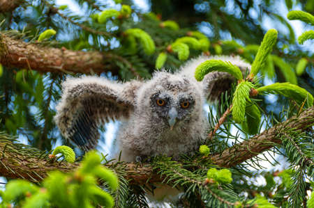A small long-eared owl sits on a tree branch in the forest. Baby Long-eared owl owl in the wood