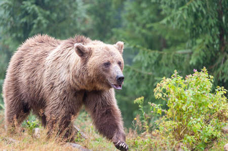 Brown bear (Latin Ursus Arctos) in the forest on a background of wildlife. 写真素材