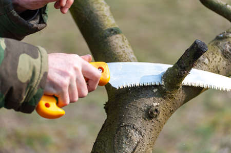 Season pruning of trees. The farmer looks after the orchard.