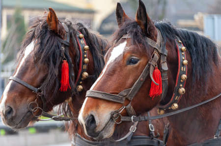 A pair of horses in a harness with bells. Excursion for tourists.