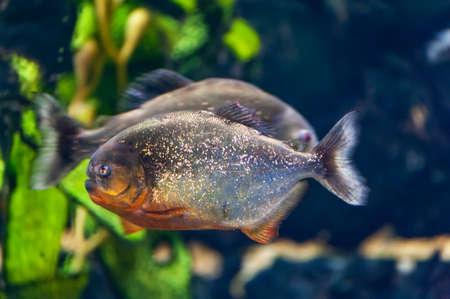 Pygocentrus nattereri. | Piranha fish underwater close up portrait