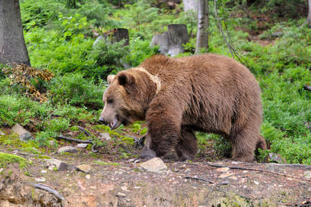 Wild Brown Bear (Ursus Arctos) in the forest. Wild animal. Standard-Bild