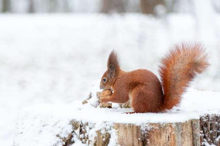 Portrait of squirrels close up on a background of white snow Standard-Bild
