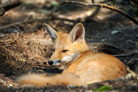 Red fox lies under a tree in the forest. Wild nature.