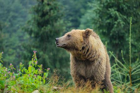 Wild Brown Bear (Ursus Arctos) in the forest. Wild animal.