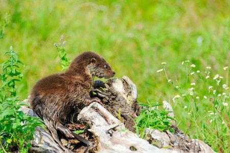 Eurasian river otter baby. Lutra lutra. Wildlife scene