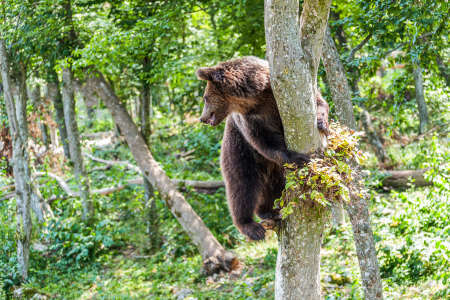 Brown bear on a tree in the forest. Wild nature.