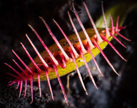 A closeup of a venus flytrap with its jaws closed after capturing its prey