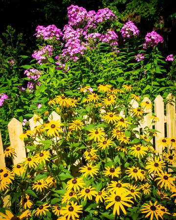A yellow picket fence is surrounded by black eyed susan and phlox flowers